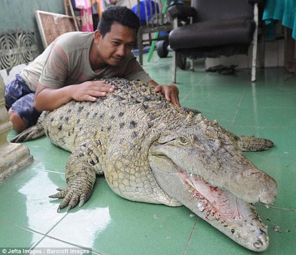 Gia đình Indonesia sống cùng nhà với cá sấu 200 kg