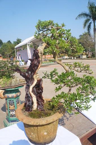 la liet bonsai doc la gia ca cay vang