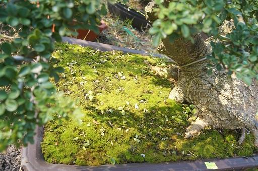 Cây dáng rêu phong.