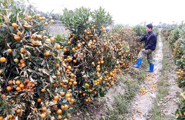 Anh Việt bên vườn quất đã héo khô