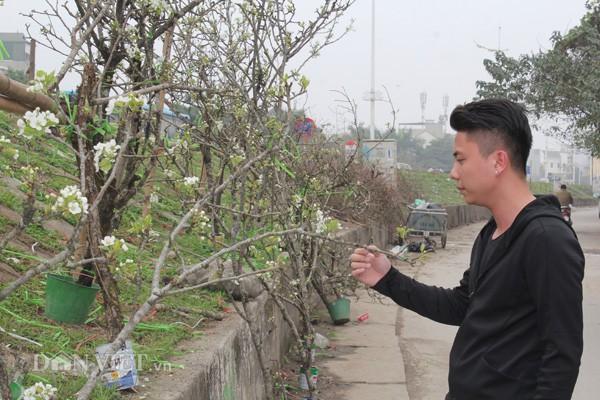 Theo các tiểu thương, hoa lê bung nở, mang vẻ đẹp tự nhiên, hoang dã của núi rừng và sức sống mãnh liệt. Người dân có thể chơi hoa lê trong 2 tháng.