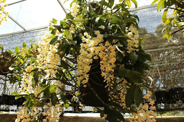 Một trong những giò thủy tiên đỉnh của 9X trong vườn có giá 20 triệu đồng.