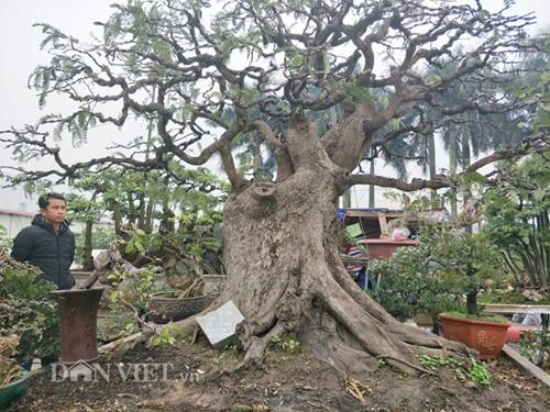 """""""Cụ"""" me bonsai trăm tuổi được rao bán gần 200 triệu ở Đồng Nai"""
