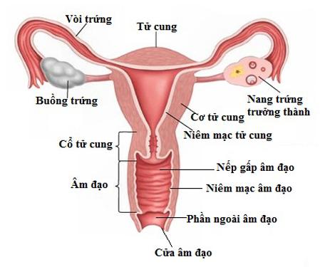 Vị trí của buồng trứng trong cơ quan sinh dục nữ.