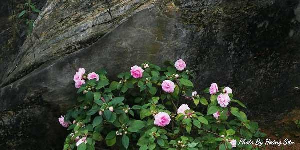 Hoa hồng ngoại rất khó trồng.