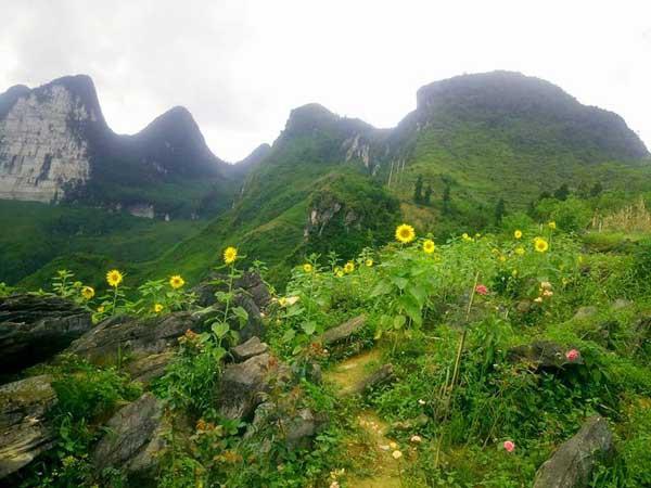 Hoa hướng dương phát triển khá tốt nhưng do trên đồi gió to nên cây hay bị gãy.
