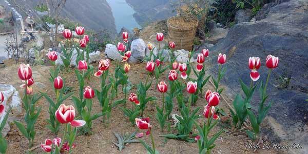 Anh trồng hơn 1000 củ hoa tulip nhưng chỉ sống 300 cây.