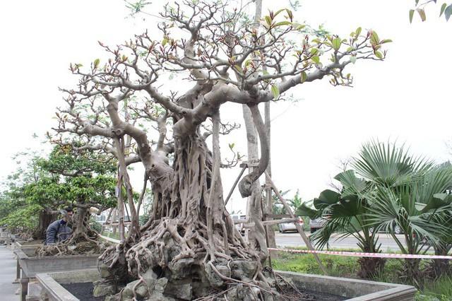 Bộ rễ của cây ôm trọn đá như những móng vuốt rồng