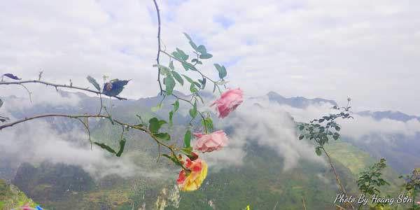 Sắc hoa hồng rạng rỡ hòa cùng làn sương mây trên núi mang đến một vẻ đẹp mới lạ.
