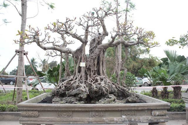 Cách đây 20 năm, ông Lộc phải bỏ ra 10 cây vàng mới sở hữu được siêu cây cổ này