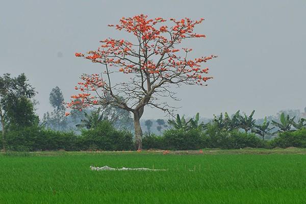 Vẻ đẹp mê hoặc của cây gạo mùa ra hoa luôn là những cảm hứng bất tận của giới nhiếp ảnh.
