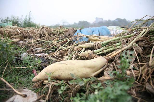 Nhiều hộ dân nhổ bỏ củ cải vứt chất đống trên ruộng để kịp thời xuống giống vụ mới...