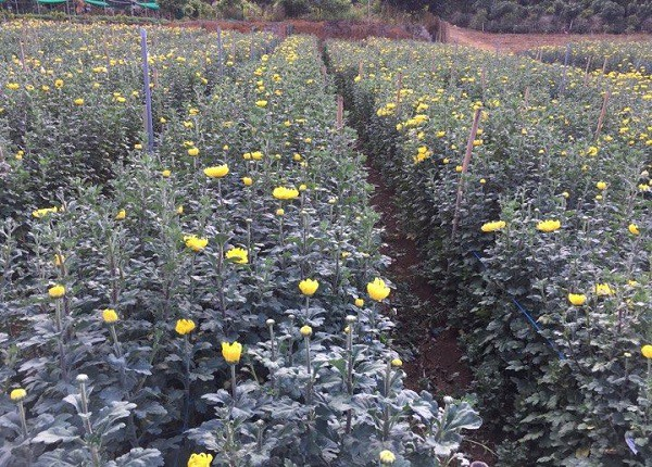 Nhờ áp dụng khoa học kỹ thuật vào trồng hoa, nên vườn cúc của anh Cương sinh trưởng và phát triển rất tốt