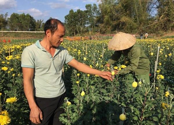 Hàng ngày anh Cương đều xuống vườn tự tay kiểm tra quá trình phát triển của hoa cúc tai vườn