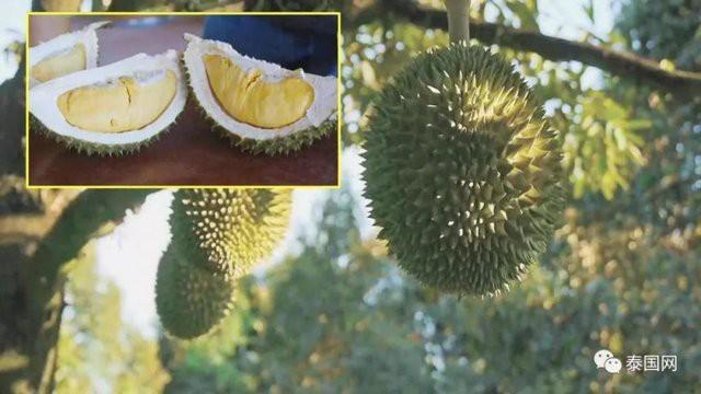 Vừa qua, Thái Lan đã cho ra đời một loại sầu riêng đặc biệt: sầu riêng không mùi thối