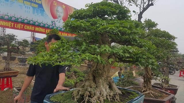 Theo anh Toản, hiện đã có một số khách trả giá cây mai chiếu thủy trên gần 200 triệu đồng nhưng anh chưa muốn bán mà chờ được giá cao hơn gia đình mới xuất vườn.