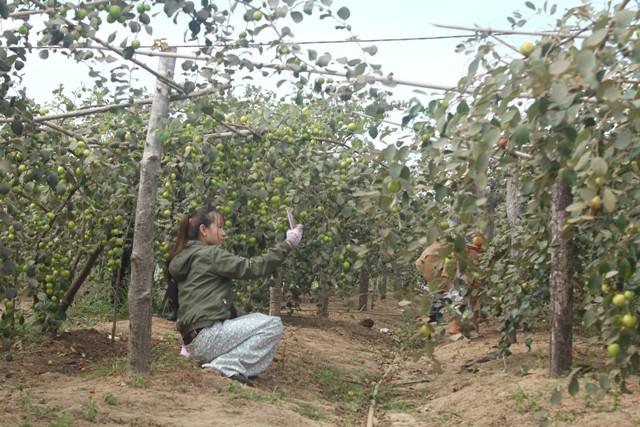 Khách tham quan chụp hình trong vườn táo của ông Dương Đức Châm.
