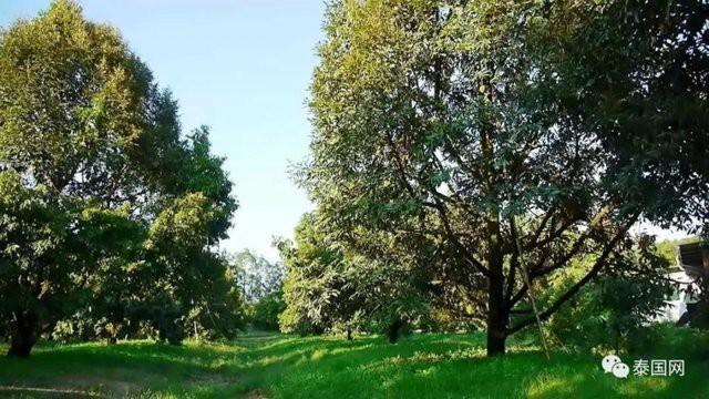 Chủ vườn Poj sở hữu một vườn sầu riêng rộng hơn 300 rai (480.000 m²) tại tỉnh Chanthaburi, miền Đông Thái Lan