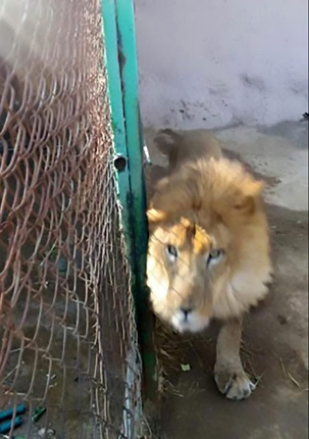 Quên khóa cửa chuồng khi dọn dẹp, nhân viên vườn thú bị sư tử giết chết