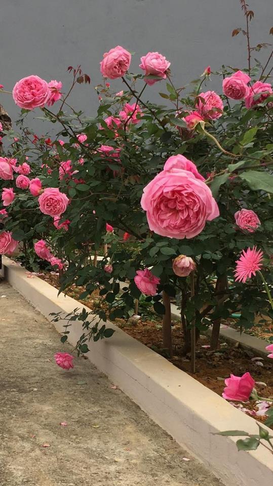 Để tiết kiệm chị Ánh Quyên chọn mua những cây hồng còn bé, ương tầm khoảng 1 năm rồi đem về nhà trồng, chăm sóc.