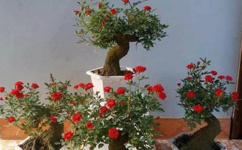 Những cây hoa hồng có giá từ vài triệu với vài chục triệu đang làm mưa làm gió trên thị trường cây cảnh. Ảnh: T.L