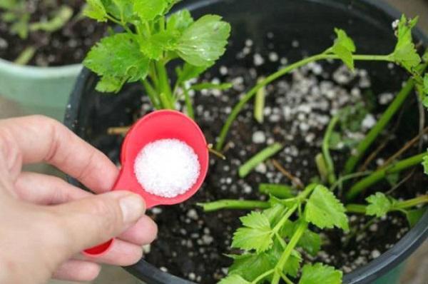 Muối Epsom được xem là vị cứu tính cho cây cà chua, giúp cây phát triển tốt, sai quả, cho năng suất cao.