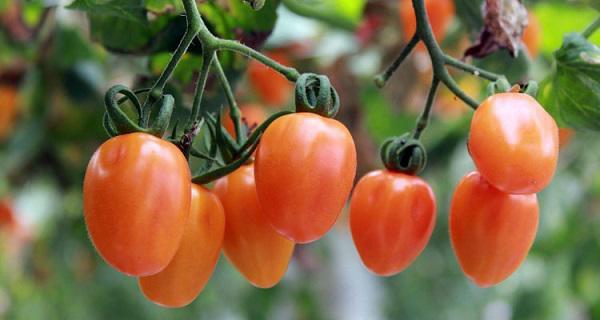 Cho tới khi cây trưởng thành, vẫn cần sử dụng muối Epsom tưới cho cây ngăn hoa trái thối rữa, tăng sản lượng cho cây.