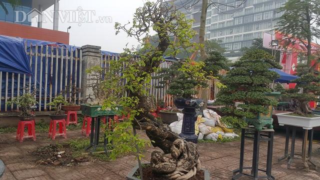 Hiện đã có một số khách trả giá cây kiểng này gần 50 triệu đồng nhưng tôi chưa muốn bán mà chờ được giá cao hơn gia đình mới xuất vườn. ông Giám chia sẻ.