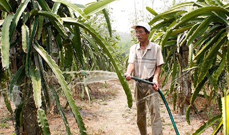 Vườn thanh long mỗi năm đem lại lợi nhuận khoảng 150 triệu đồng. Ảnh: H.T