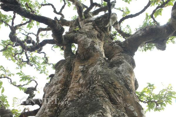 Anh Toàn cho biết, các cành của khế mọc ra từ thân cây phân phối hợp lý chứng tỏ các nghệ nhân xưa mất rất nhiều công sức chế tạo, uốn nắn. Đây là cây khế số 1 Việt Nam hiện giờ, anh Toàn nói.