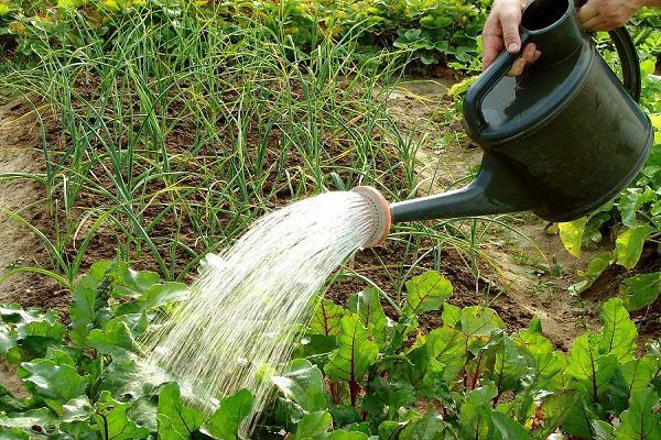 Ngâm bã cafe trong nước và dùng nước này tưới toàn bộ cây bao gồm cả mặt dưới của lá. Bã cafe sẽ tăng cường dinh dưỡng cho nước giúp cây phát triển khỏe mạnh và tươi tốt hơn.