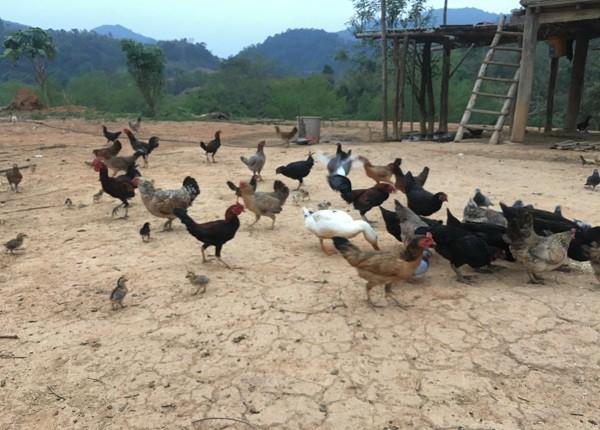 Thức ăn cho đàn gà chủ yếu là ngô say, sắn say, hầu như ông Viện không dùng đến cám công nghiệp trong chăn nuôi, chính vì vậy mà đàn gà của ông Viện phát triển rất khỏe mạnh