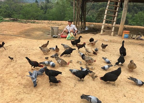 Không chỉ nuôi gà đen thả vườn, ông Viện còn nuôi thêm đàn bồ câu Pháp, để nâng cao thu nhập cho gia đình