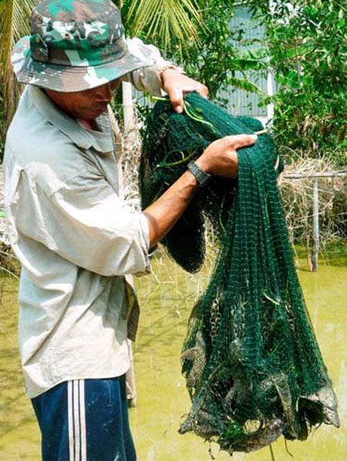Một mẻ lưới của người dân Đồng bằng sông Cửu Long chỉ toàn cá dọn bể.