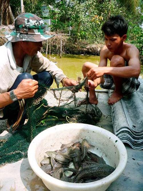 Cá làm rách lưới, thủng bờ bao.