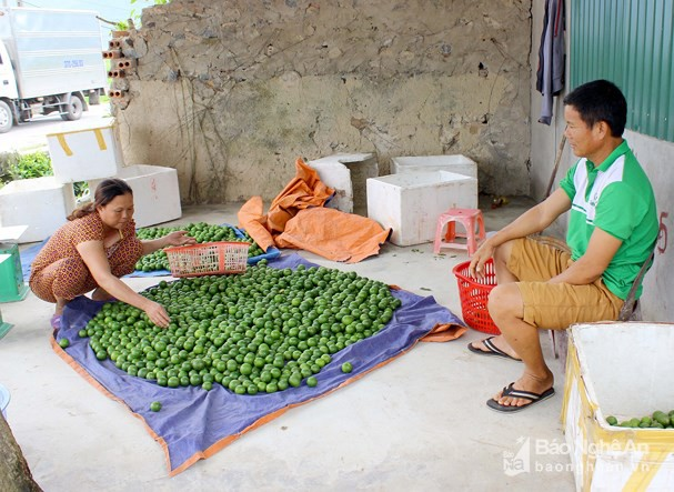 Thương lái thu mua chanh với giá 47.000 đồng/kg tại địa phương. Ảnh: Quang An