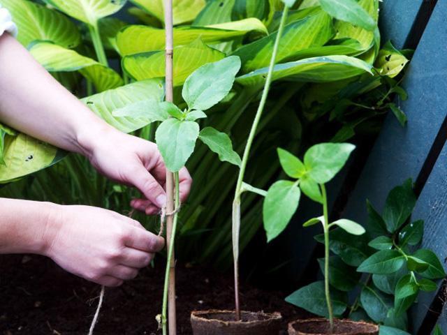 Mỗi tháng 1 lần, bón bổ sung phân hữu cơ hoặc phân NPK hòa loãng với nước để tưới cho cây.