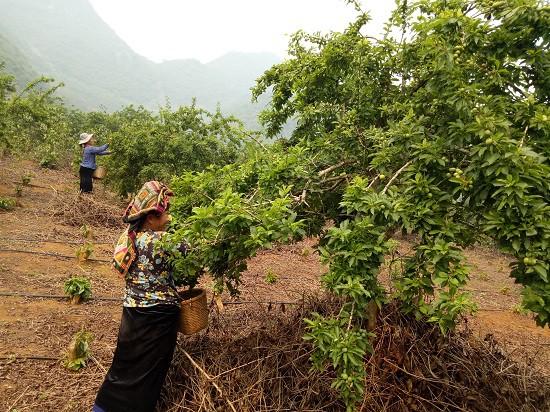 Sơn La: Nhiều nông dân trở thành triệu phú nhờ mận chín