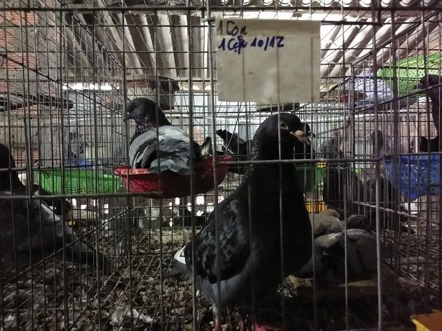 Ngoài nuôi thỏ, bà Đàm Thị Cậy hiện cũng đang chăn nuôi thêm 200 cặp bồ câu.