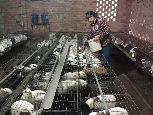 Trang trại thỏ của bà Cậy được bố trí khá thoáng mát và sạch sẽ