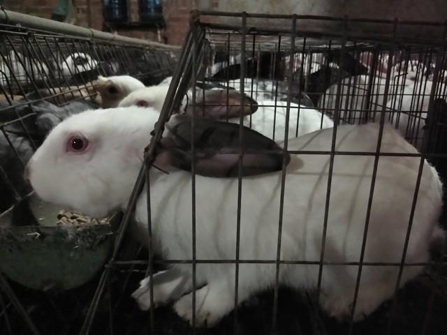 Những con thỏ thịt của bà Cậy sắp được xuất bán