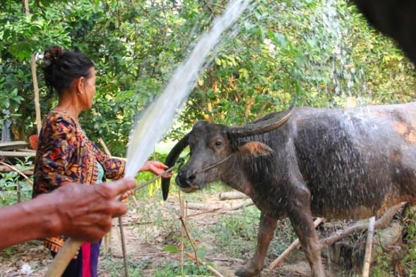 Mỗi chiều vợ chồng bà Thiện lại tắm cho trâu sạch sẽ trước khi cho vào chuồng cho ăn cỏ. Ảnh: Ngọc Vũ