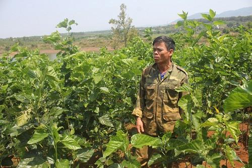 Sắp tới, ông Tung sẽ mở rộng diện tích vườn dâu để đáp ứng đủ lượng thức ăn cho những ổ tằm. Ảnh: T.H