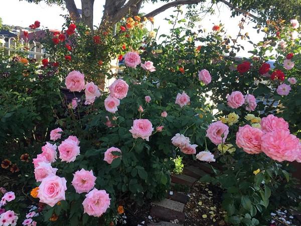 Vườn hoa của chị Nguyễn Bình khoe sắc trong thời tiết nắng nóng. Ảnh: Nguyễn Bình.