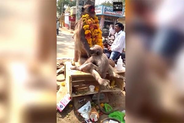 Khỉ con ôm xác, cố đánh thức khỉ mẹ chết vì điện giật
