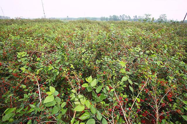 Vườn dâu bạt ngàn màu đỏ của nông dân Thủ đô vào mùa thu hoạch