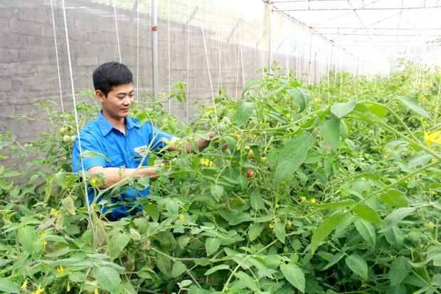 Kỹ sư 8X về quê trồng rau VietGAP, lãi hơn 30 triệu mỗi tháng