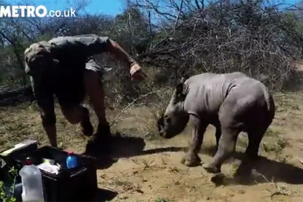 Chú tê giác con đang bảo vệ mẹ.