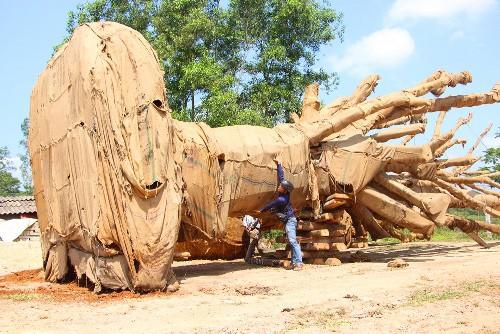Kiểm lâm Huế bàn giao hai cây cổ thụ quá khổ, quá tải cho chủ cây