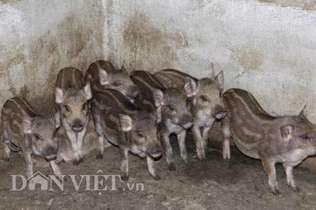 Khi đã gây dựng được đàn lợn rừng nái sinh sản thì 9x Nguyễn Xuân Sơn không phải mua lợn rừng giống, giờ đây anh còn bán lợn rừng giống.